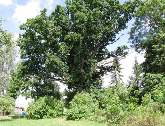 Veršių ąžuolas